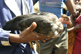 A 'naked neck' ecotype of chicken in Ethiopia | by International Livestock Research Institute