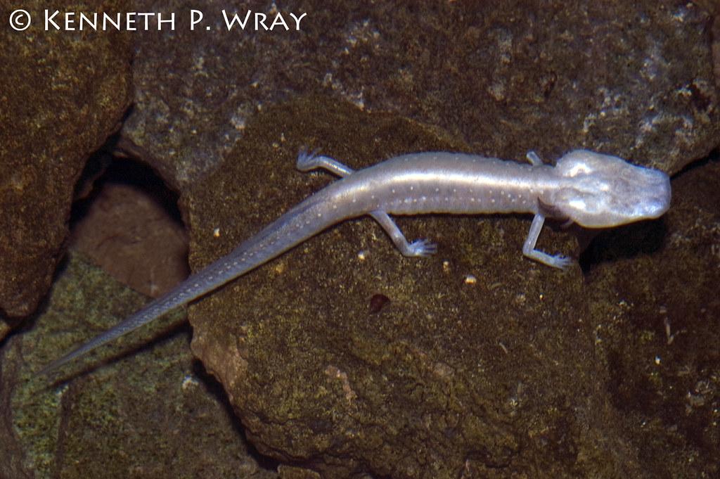 Eurycea Typhlomulge Rathbuni Texas Blind Salamander Flickr