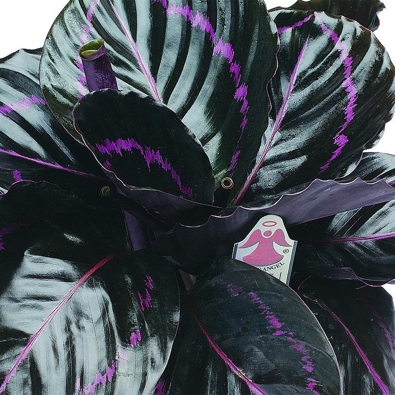 Fam 24 Calatheadottie Exotic Angel Plants Flickr