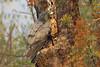 African Harrier-Hawk, Sakania, DRC by Terathopius
