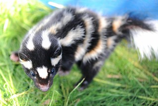 Juvenile Spotted Skunk | by vladeb