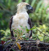 Philippine Eagle, nr Mount Kitanglad, Mindanao by Terathopius