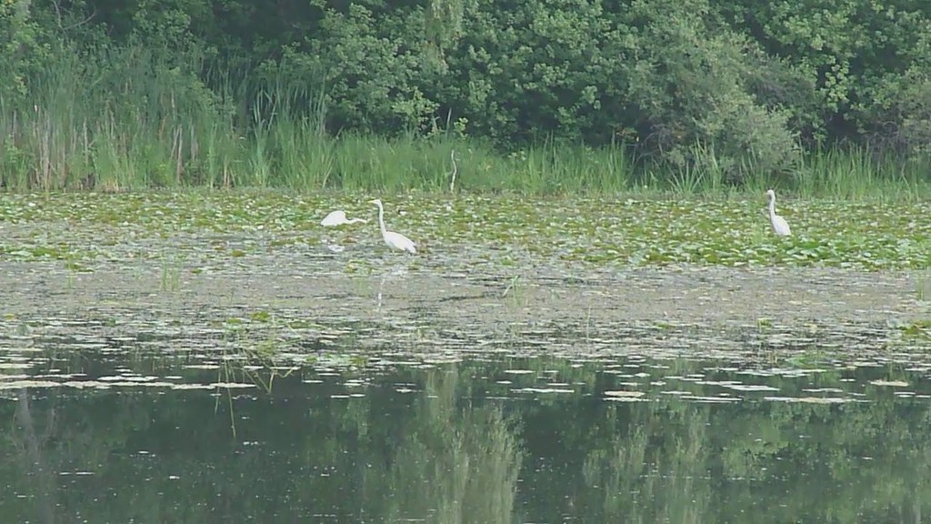 Video of Egrets on the Huron River
