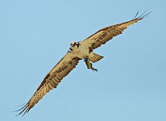Osprey with a Bluegill for lunch
