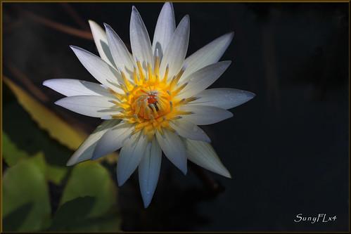 flowers nature waterlily florida lakeland hollisgardens awesomeblossoms stunningphotogpin best4gpin
