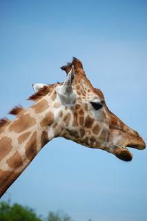 Giraffe! | by Sparkly Kate