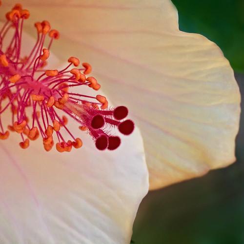 pink red white macro yellow square flora cream hibiscussiniensis