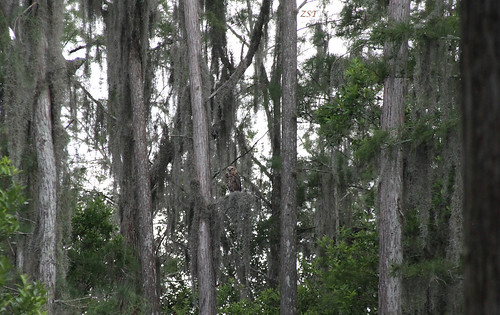 usa bird florida owl clermont birdofprey greathornedowl bubovirginianus canon7d tigerowl canon18135is zeesstof