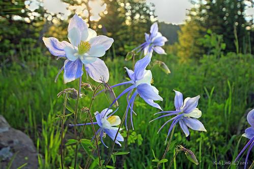 sunrise landscape colorado wildflowers columbines