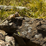 Golden-mantled Squirrel
