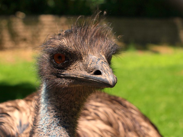 Ever Been Pecked by an Emu?