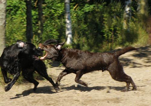 Labrador attack! | by smerikal