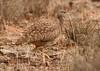 Karoo Korhaan (Eupodotis vigorsii) by Patrick Benade