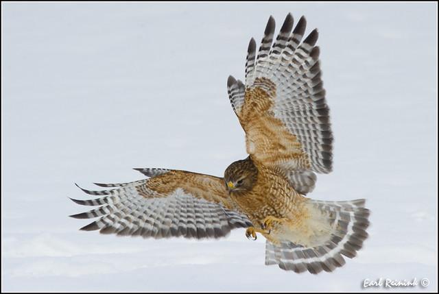 20110120-0146 Red Shouldered Hawk