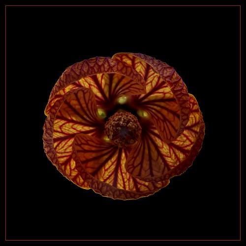flowers red black flower macro nature photoshop canon nc northcarolina arboretum ufo explore jcraulstonarboretum chineselanternflower paulmalcolm fiddleflix