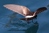White-vented Storm-petrel 2 by rhysmarsh