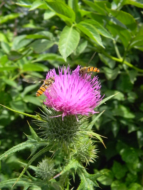 Hoverflies on thistle Amberley to Pulborough