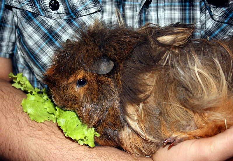 Valériane the guinea sow is pregnant