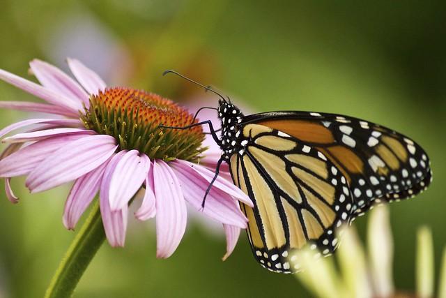 MAP3390 Monarch Coneflower