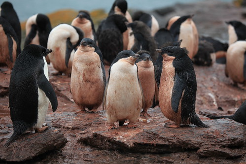 Pink Penguins of Shingle Cove | by Liam Quinn