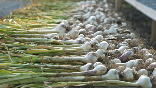 Garlic_Drying | by {every}nothing wonderful
