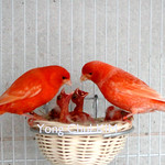 Red Canary (9)