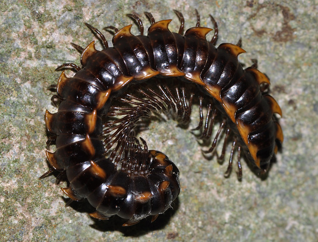 Armoured millipede (Order Polydesmida)