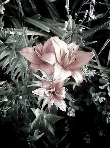 Lilies | by fortinbras