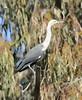 White Necked Heron by jon ayres