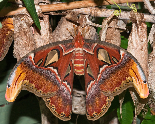 Atlas moth (Barry's)(Explore)