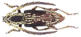 Xoanodera laticornis Gahan, 1891 female