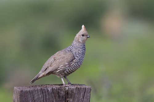 Scaled Quail   Rodeo   NM   2015-07-18at10-05-182   by Bettina Arrigoni