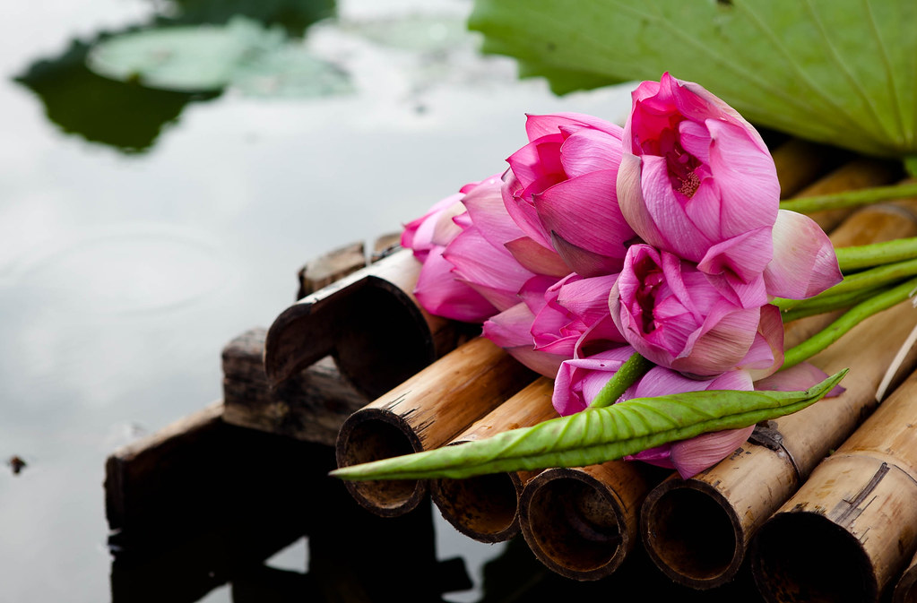 Lotus - Sen hồng