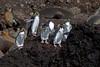 Northern Rockhopper Penguin   Eudyptes moseleyi   or Eudyptes chrysocome moseleyi by Graham Ekins