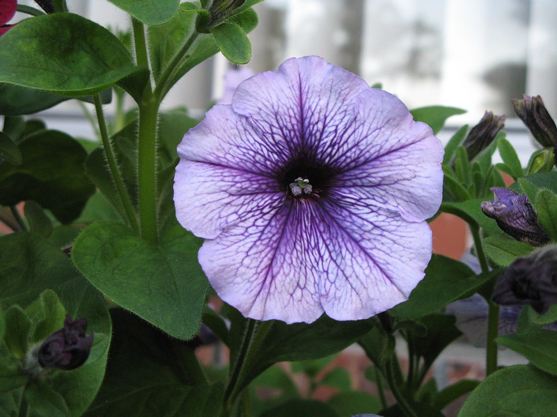 Petunia | Summer-Loving Annual Plants For A New Garden Every Year