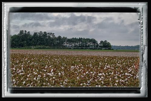 sc field canon canon20d southcarolina cotton cottonfield southernsnow cottonpick