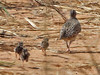 Small Buttonquail with chicks, Dzalanyama - Lilongwe (Malawi), 24-May-11 by Dave Appleton
