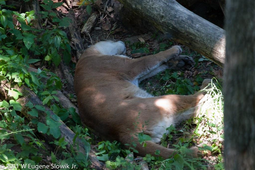 Wildlife Prairie SP Cougar Sleeping