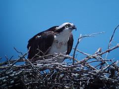 Osprey, Everlglades, FL