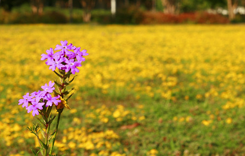 flowers fall yellow campus photography purple scenic quad september mtc rhm vrider vrider97 midlandstech
