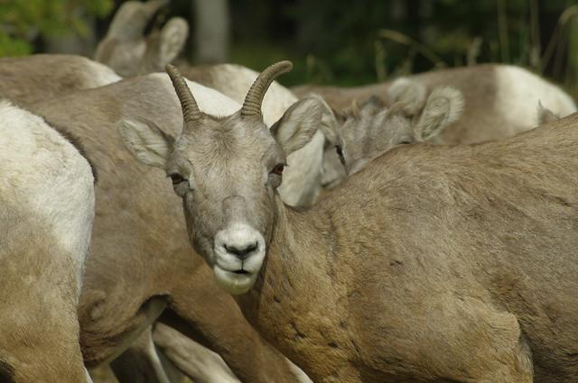 Feeling Sheepish . . .