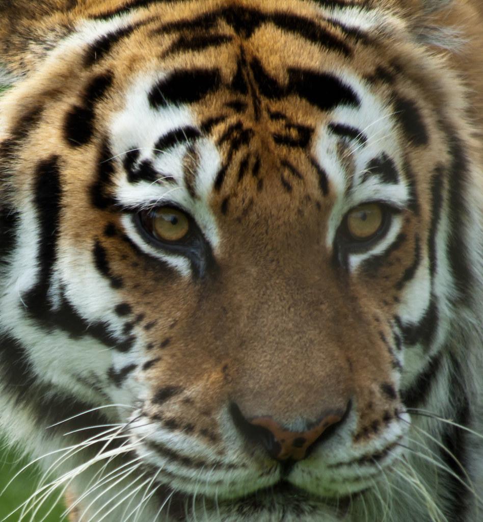 Tiger Eyes Christopher Flickr
