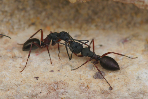 Ants conversing | by ron_n_beths pics