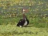 Spur-winged Goose by Oleg Chernyshov