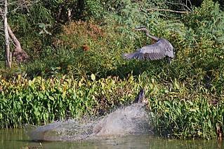 When alligators attack!!!