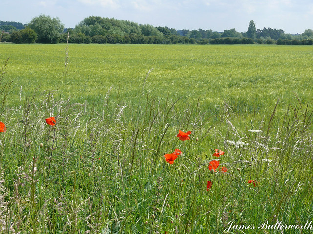 Poppies Lincolnshire UK