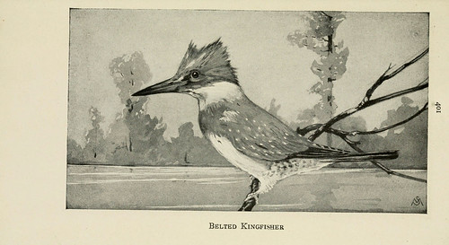 black and white illustration of a belted kingfisher