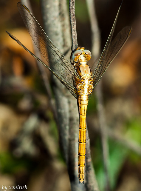 Orthetrum chrysostigma (female)