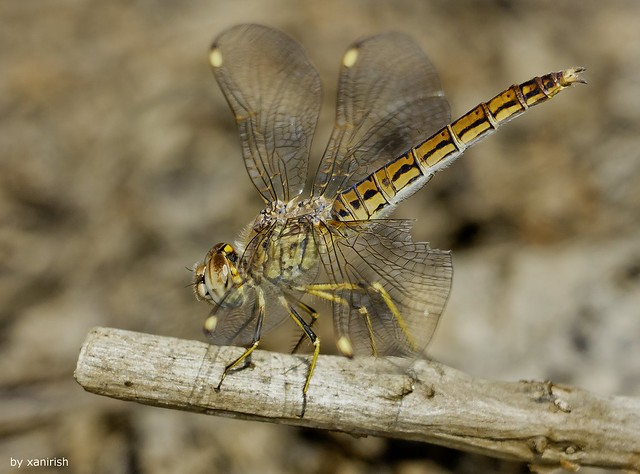 Brachythemis impartita (female)