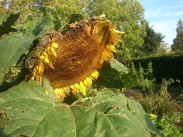 DSC_0036 - Sunflower
